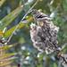 Flickr photo 'American Goldfinch (Spinus tristis) on Florida Paintbrush (Carphephorus corymbosus)' by: Mary Keim.