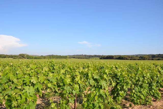 Vitis vinifera - vigne 32828329426_dc284100e0_z
