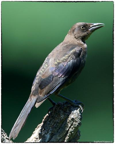birdfeederblind raphaelkopanphotography cincinnati ohio d500 nikkor600f4evr 14xtciii monopod nikon