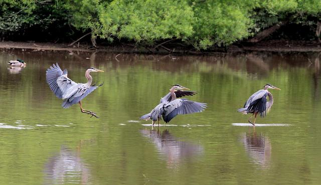 Great blue heron, Ardea herodias touch down