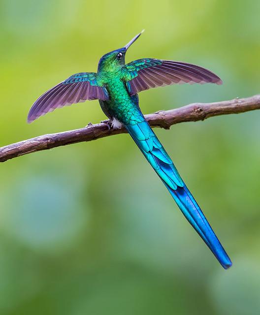 Colibri Silfo Coliverde, Long-tailed sylph hummingbird, Aglaiocercus kingii, Finca Alejandria, Bosque Nebuloso, Los Andes, Colombia.