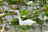Coscoroba Swan (Coscoroba coscoroba) by Gerald (Wayne) Prout