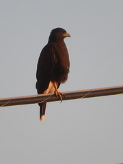 Harris's Hawk, Pharr, TX, 7/29/2017