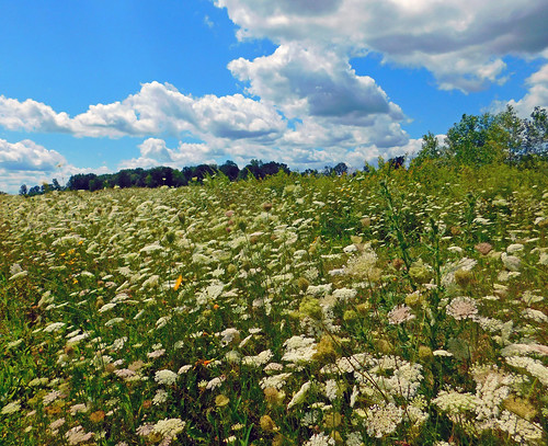 weeds flowers wildflowers queenanneslace summer august cumulousclouds fairweather armadatownship michigan