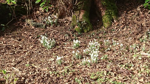 Snowdrops Feb 17 (Lee Turner) | by Penllergare