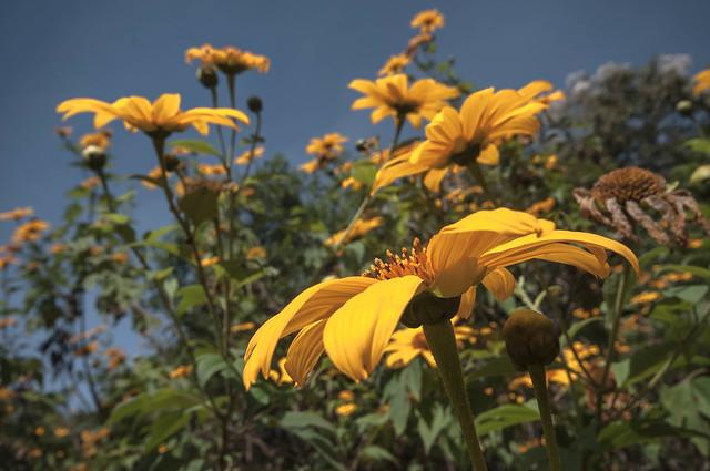 Yellow Daisy #3