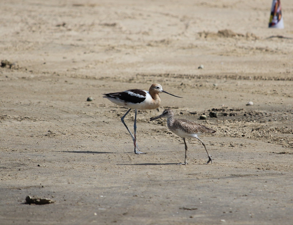 American avocet and Willet  High Island TX 7-17