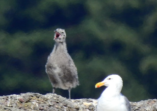 august 27 2017 13:30 - Gull chick & adult | by boonibarb