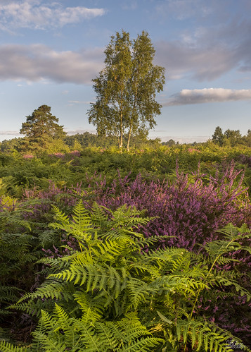 fujifilm fujix fujixt2 fujinonxf1655mmf28 fujifilmx jaketurner jrturnerphotography picture print image photo photography photograph photographer mirrorless mirrorlesscamera landscape landscapephotography snelsmorecommon snelsmore countrypark common heathland newbury berkshire england uk unitedkingdom gb greatbritain europe snelsmorecommoncountrypark heather ferns lonetree silverbirch tree dawn sunrise goldenlight summer august 2017 nature naturephotography northwessexdowns