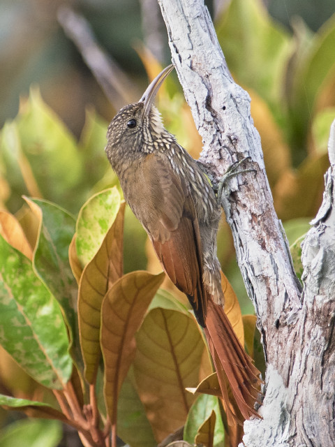 Arapaçu-de-listras-brancas (Lepidocolaptes albolineatus)
