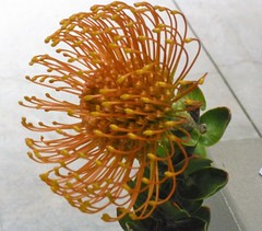 A RARE PROTEA FLOWER  (SEE BELOW)