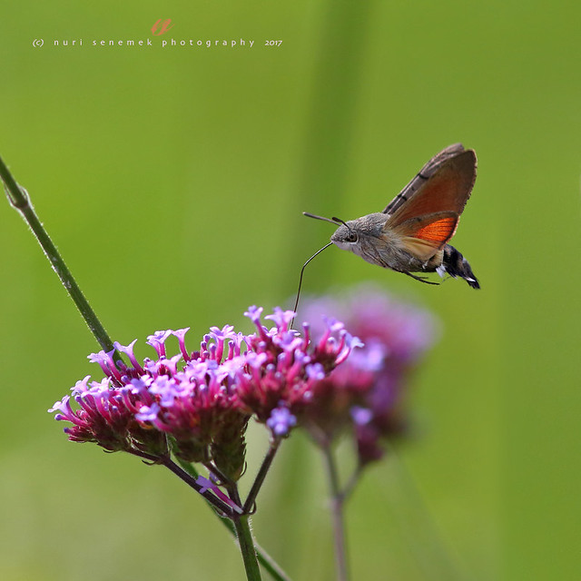 Hummingbird hawk-moth  (2)