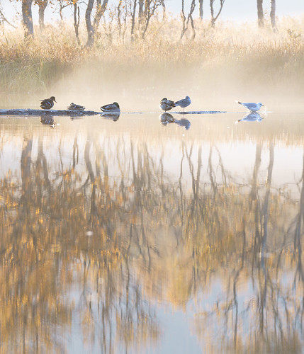 canon 300mm sony mirror reflection morning sunrise golden dof fog mist bird seagull duck mallard autumn september yellow fall