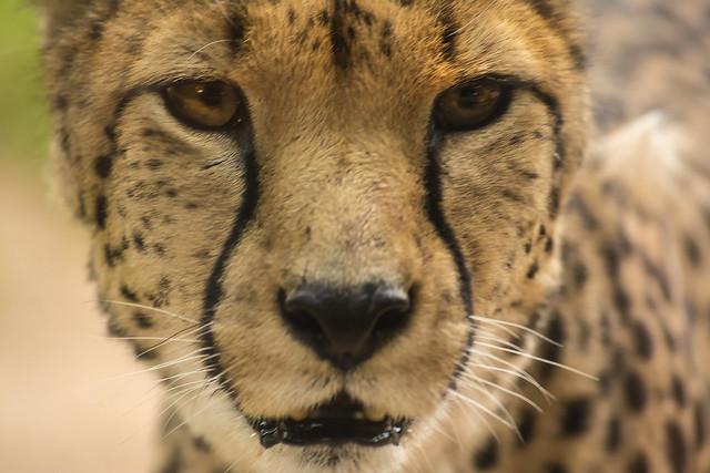 Cheetah 25th aug 17 (4)