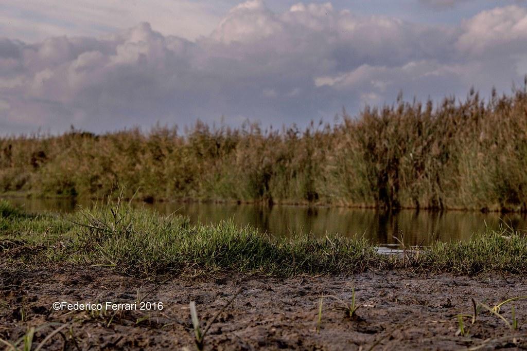 28 torre flavia cannuccia di palude (Phragmites australis) stagno palude cielo nuvole
