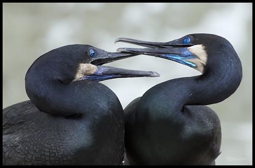 cormorant lajollacove lajolla california nikon d800 70200mmnikkor