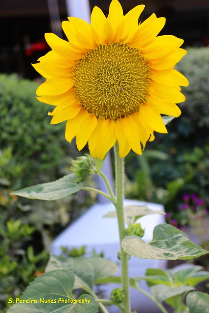 Sunflower at the Sheraton, San Salvador