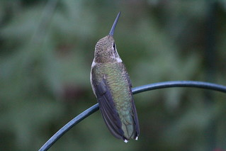 back view Black-chinned Hummingbird female back 2017 08 18 sl1 (62) | by lillianderwelis