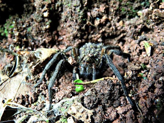 Araña lobo (fam. Lycosidae) con crías.