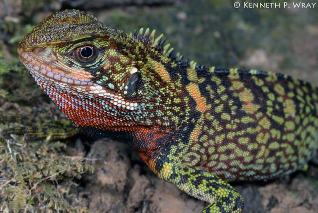 Enyalioides laticeps (Amazon Wood Lizard)
