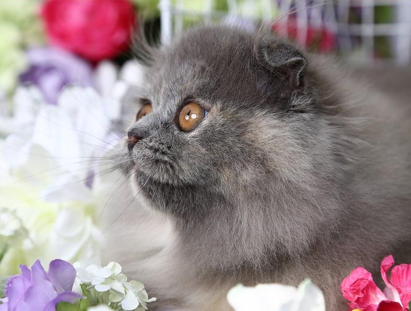 Doll Face Persian Kittens   Blue Cream Persian Fold Kitten   Flickr