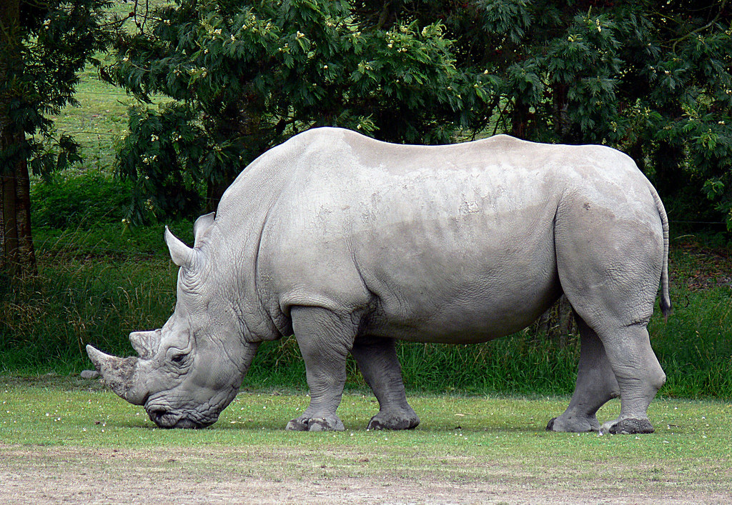 Image result for white Rhinoceros