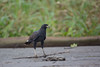 Great black hawk (Buteogallus urubitinga), Amazonas, Colombia by Free pictures for conservation