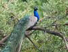 Peacock ( Pavo cristatus ) by Nikondxfx (instagram)