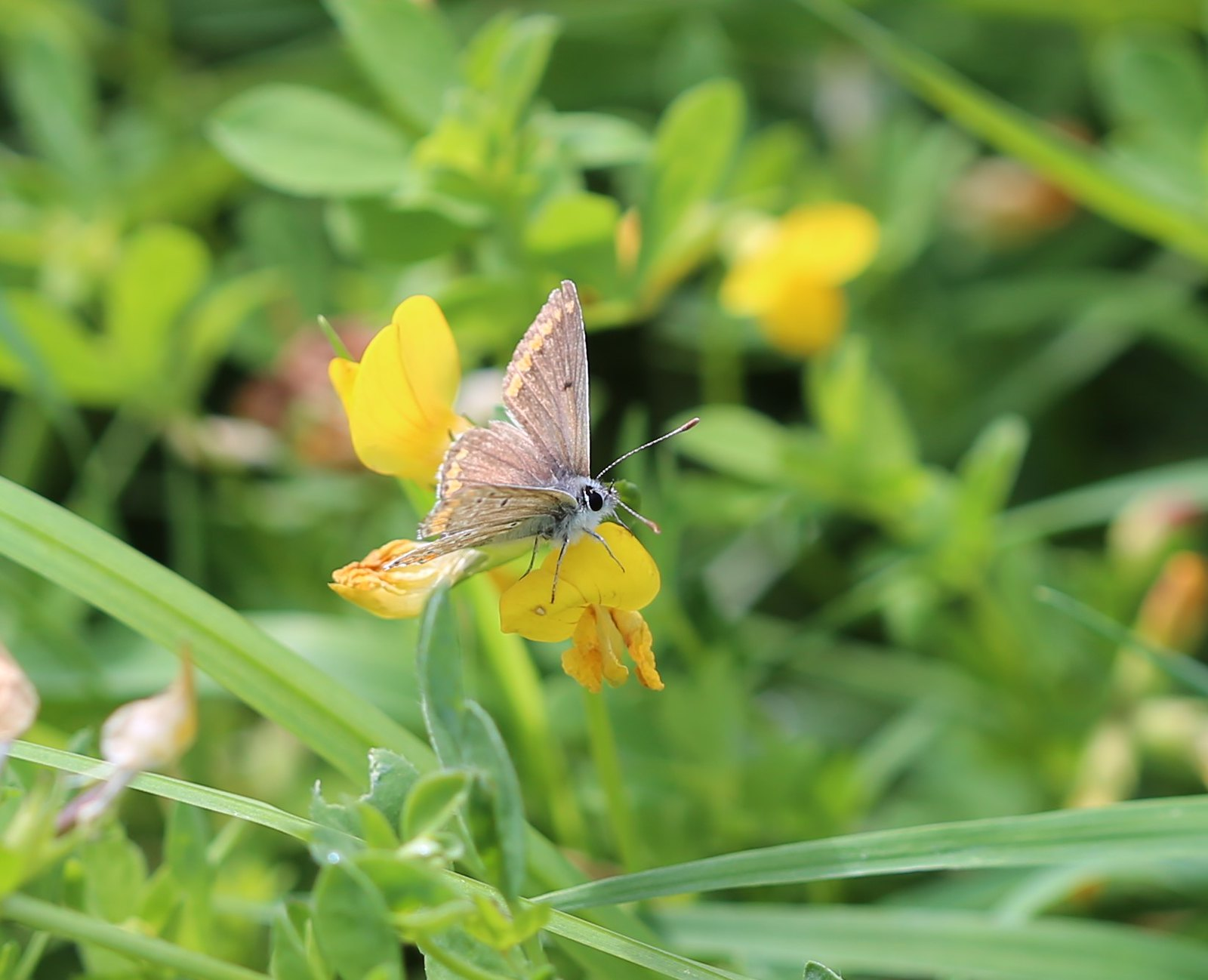 Brown Argus on Birds Foot Trefoil - near Pulborough Aricia agestis