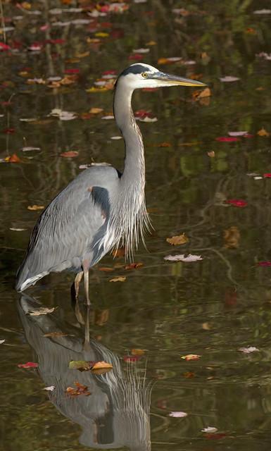 In Explore... Great blue heron, Ardea herodias