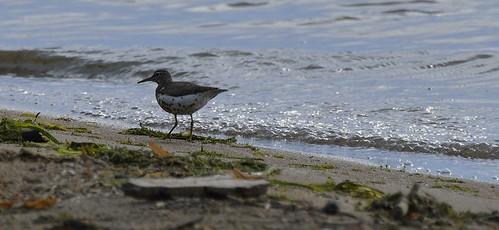spotted sandpiper petrie island 01082015_DSC0388 | by David Villeneuve