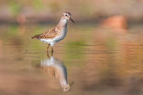 shorebird pool wildlife nature calidrisminutilla water migration bird ripple leastsandpiper reflection sandpiper fortwashington pennsylvania unitedstates us nikon d500 peeps