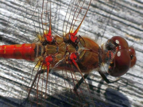 dragonflies damselflies ruddydarter sympetrumsanguineum thorax insect nerves muscles insectbrain langbroekpadgeinamsterdamthenetherlands