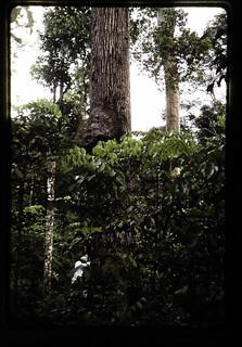 Seed Tree Of Tornillo(cedrelinga Cataeniformis) = トルニージョ(CEDRELINGA CATAENIFORMIS)の母樹