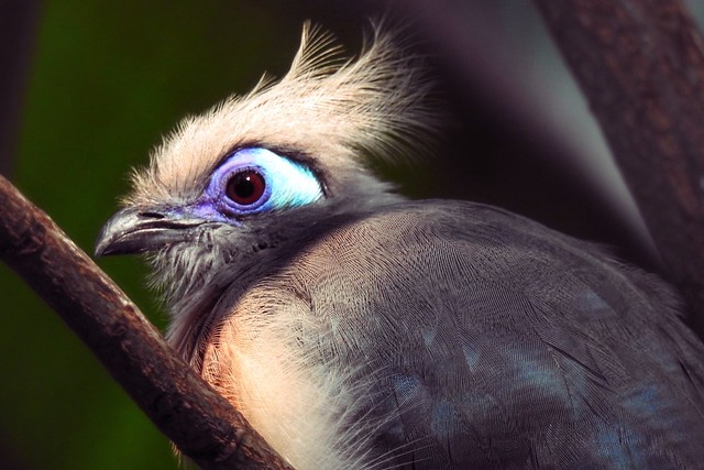 Crested Coua in Golden Hour Light