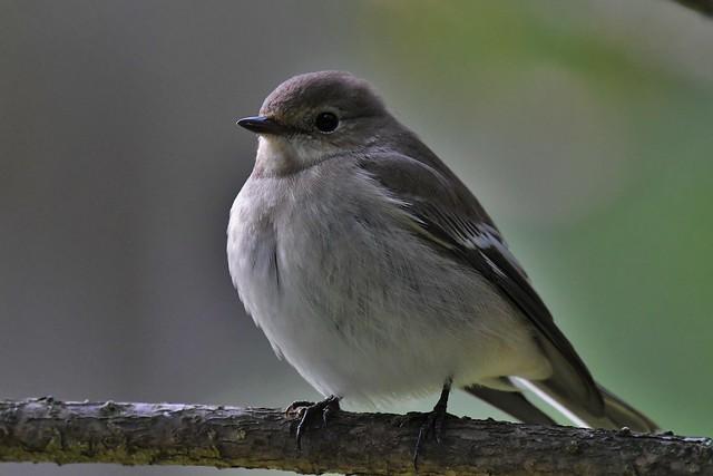 Gobemouche-noir - Ficedula hypoleuca - European pied flycatcher