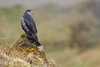 Black-chested Buzzard-eagle (Geranoaetus melanoleucus), Chingaza by Free pictures for conservation