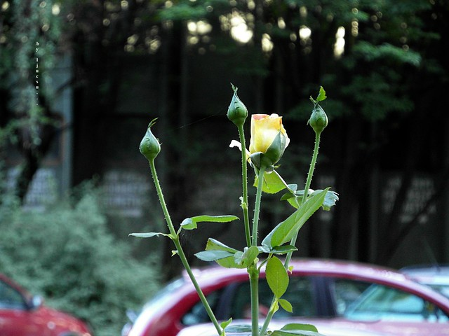 A Rose close to the Roadway ... ◔◔♡