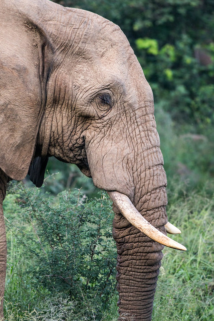 Portrait of african elephant in Pilanesberg, South Africa