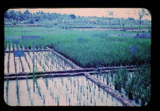 インドネシアにおける水稲のリン、イオウ欠乏症