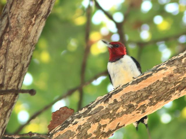 Red-headed Woodpecker 01-20170925