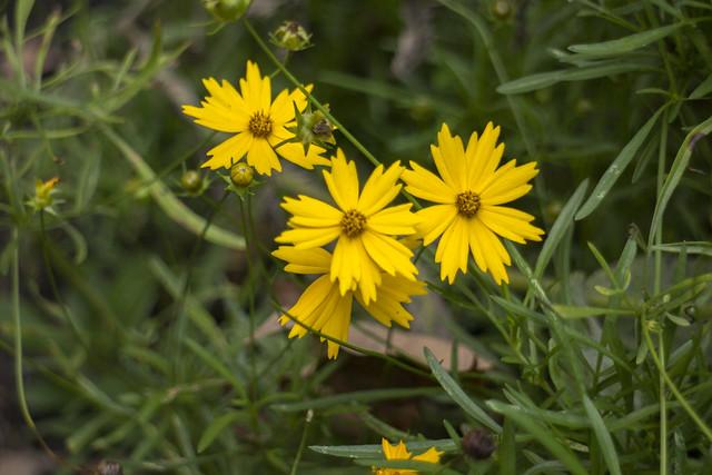 Coreopsis lanceolata, Edgar Evins State Park, Dekalb County, Tennessee