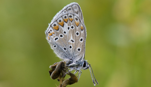 Common Blue Roosting in the Dew.