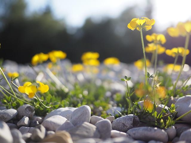 © Yellow Flower on Pebble Beach Nature Summer – Gelbe Blume Kieselstrand Natur