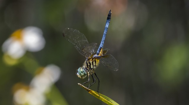 Blue dasher doing a dragonfly handstand