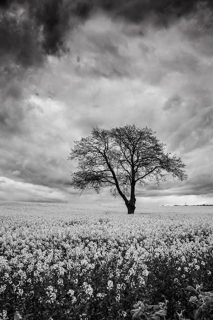 Gainford Monochrome Rapeseed Field (Portrait).