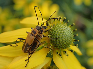goldenrod soldier beetle | by octopus.gallery