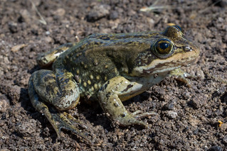 Columbia Spotted Frog-Rana luteiventris | by Rye Jones