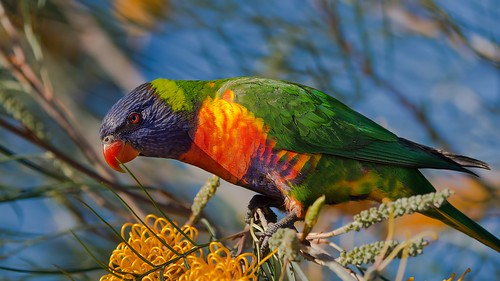 Rainbow Lorikeet feeding on grevillea | by piggsyface