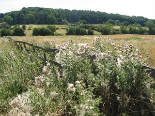 thistles in the fence